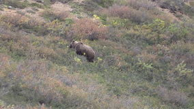 Grizzly Bear Feeding on Berries stock video