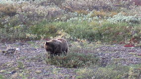 Grizzly Bear Feeding on Berries stock video footage