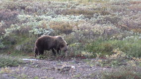 Grizzly Bear Feeding on Berries stock footage