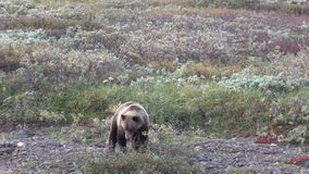 Grizzly Bear Feeding on Berries in fall stock video