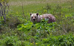 Grizzly Bear Feeding On Cowslip Royalty Free Stock Photos