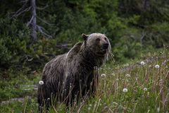 Griizzly Bear Banff National Park. Grizzly Bear feeding on Dandelions in Banff National Park, Alberta Canada Stock Images