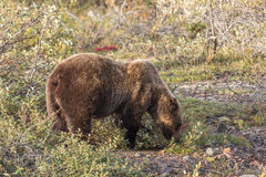 Grizzly Bear Feeding in Denali Royalty Free Stock Photo
