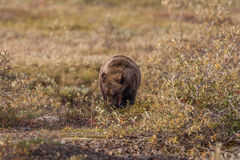 Grizzly Bear Feeding in Fall Stock Image