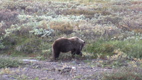 Grizzly Bear Feeding in Fall stock video footage