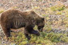 Grizzly Bear Feeding in Fall Royalty Free Stock Photography