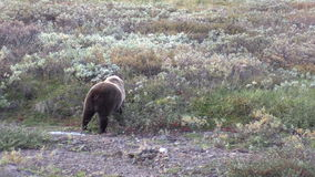 Grizzly Bear Feeding stock video