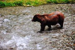 Grizzly Bear feeding on salmon in Hyder, Alaska. Grizzly Bear feeding on salmon at the Fish Creek Wildlife Observation site in Hyder, Alaska stock images
