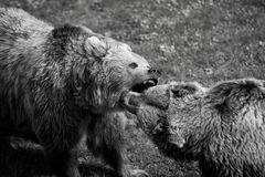Grizzly bear fight Stock Image