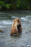Grizzly bear fight Royalty Free Stock Photo