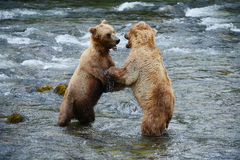 Grizzly bear fight Royalty Free Stock Image