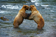 Grizzly bear fight. Ing in a river at katmai national park stock images