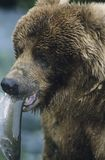 Grizzly bear with fish in mouth close-up Stock Image