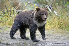 Grizzly Bear fishing river Stock Image
