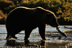 Grizzly Bear fishing. Grizzly Bear with fish walking in backlight Stock Images