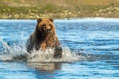 Grizzly Bear Fishing. Adult Alaskan Coastal Brown Bear aka Grizzly Bear Fishing In Stream Stock Photo