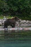 Grizzly bear fishing in alaskan lake Royalty Free Stock Image
