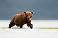 Grizzly Bear. Fishing in coastal waters royalty free stock photography