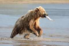 Grizzly Bear. Fishing in coastal waters Stock Images