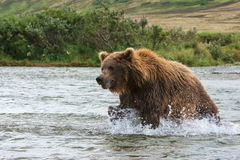 Grizzly Bear Stock Photo
