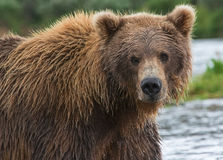 Grizzly Bear. Fishing for salmon in Katmai National Park and Preserve in Alaska Stock Photography