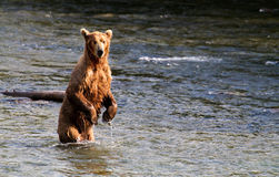 Grizzly Stock Photography