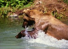 Grizzly Bear Fishing (Ursus arctos horribilis) Royalty Free Stock Photography