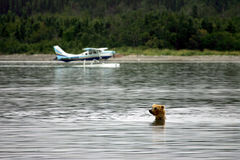 Grizzly bear and float planes Royalty Free Stock Photography