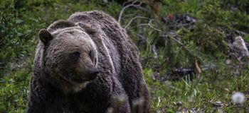 Grizzly Bear foraging in Banff National Park. In Alberta Canada Royalty Free Stock Photography