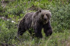 Grizzly Bear foraging in Banff National Park. In Alberta Canada Royalty Free Stock Image