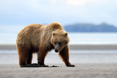 Grizzly Bear. Foraging on beach Stock Photo