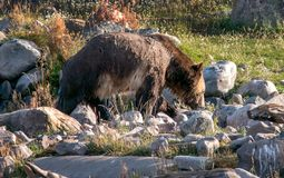 Grizzly bear foraging for food in Montana. A large Grizzly bear is happily foraging for food in Montana stock images