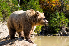 The grizzly bear royalty free stock photos