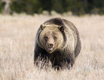 Grizzly bear, front view, in deep grass in early fall Stock Images