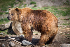Grizzly bear. Full body profile of a big female Grizzly bear Stock Photography