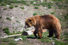 Grizzly bear. Full body profile of a big female Grizzly bear Stock Images
