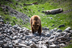 Grizzly bear. Full body profile of a big female Grizzly bear Stock Photos