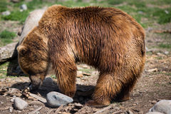 Grizzly bear. Full body profile of a big female Grizzly bear Royalty Free Stock Photography