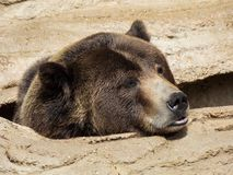 Grizzly Bear Games. The grizzly bear Ursus arctos ssp. is a large subspecies of brown bear inhabiting North America. Scientists generally do not use the Stock Image