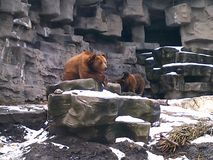 Grizzly bear going onto a large rock stock photo
