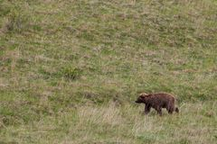 Grizzly bear on the grass field Stock Photo