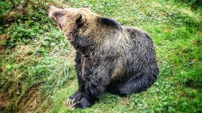 Grizzly Bear. The grizzly bear is a large subspecies of brown bear inhabiting North America. Scientists generally do not use the name grizzly bear but call it Stock Photography