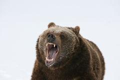 Grizzly Bear Growling royalty free stock image