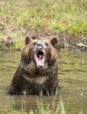 Grizzly bear growling close up, head and shoulders. Royalty Free Stock Photos