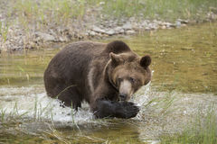 Grizzly bear growling close up, head and shoulders. Royalty Free Stock Image