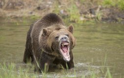 Grizzly bear growling close up, head and shoulders. Grizzly bear growling, looks mean Stock Photography