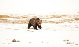 Grizzly Bear in the Harsh Spring Winds. Grizzly bear in the spring snows and winds of Yellowstone National Park Stock Photo