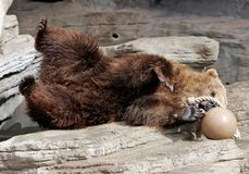Grizzly Bear Having Fun with Ball. A Grizzly Bear plays with a ball in an American, big city zoo (captive setting, shallow focus royalty free stock photo