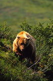 Grizzly Bear Head On Royalty Free Stock Photography