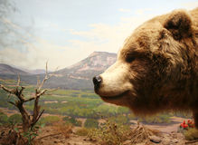 Grizzly Bear Head Royalty Free Stock Photography